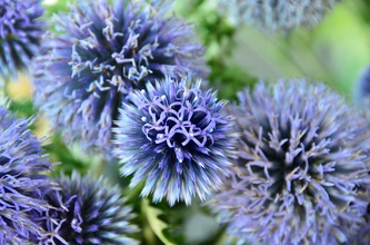 Echinops bouquets